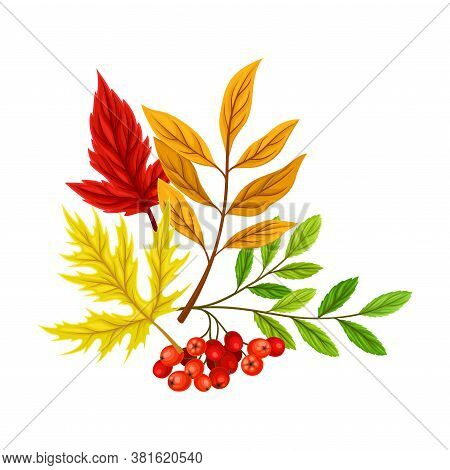 Bright Foliage With Ashberry Twig As Thanksgiving Autumnal Holiday Vector Composition