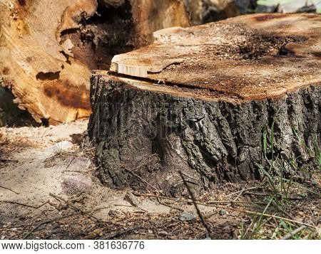 Cut Down Trees Rotted Inside During The Logging Of Wood For Construction And Other Purposes, Closeup