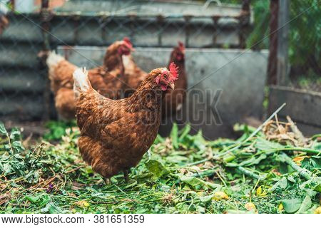 Chickens On Dried Grass In Enclosure. Brown Hens Walking On Heap Of Dried Grass In Enclosure On Summ