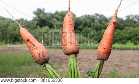 Freshly Dug Carrots With Tops On The Background Of A Vegetable Garden On A Sunny Day Outdoors. Large
