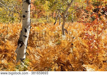 Par City, Utah, USA fall foliage with ferns and birch trees.