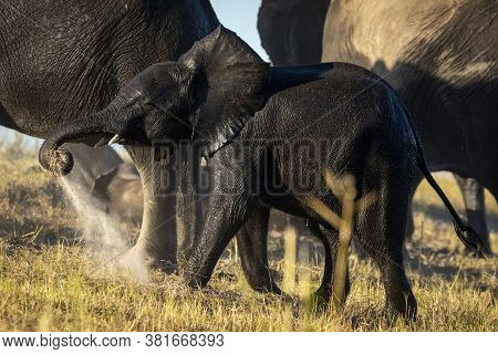 Tiny And Wet Baby Elephant Is Giving Himself A Dust Bath While Walking With Its Herd In Chobe River