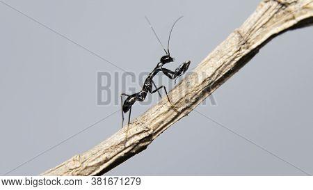 Asian Ant Mimicking Mantis (odontomantis Planiceps) Stock Photo