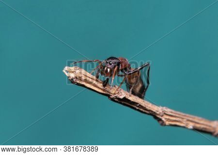 Ant Mimicking Jumping Spider On A Stick