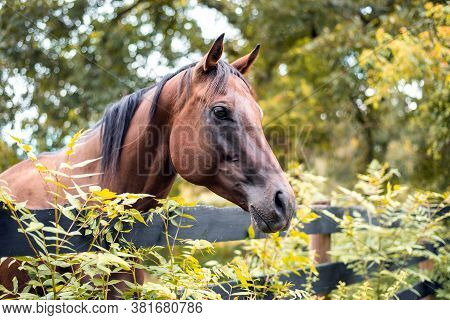 Thoroughbred Mare In Solid Bay, Horse Behind Wooden Fence With Greenery