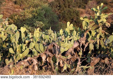 Prickly Pear Cacti Plants On An Arid Field Taken At A Chaparral Woodland In The Rural Southern Calif