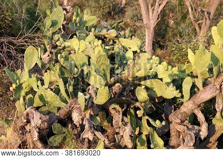 Prickly Pear Cacti Plants On An Arid Field Taken In The Rural Southern California Landscape