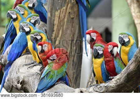 Gang Of Beautiful Colorful Macaw Parrots Roosting On The Same Timber In Zoo, Lovely Parrakeet Gether