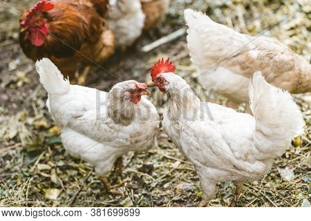 Chickens On Dried Grass In Enclosure. White Hens Walking On Heap Of Dried Grass In Enclosure On Summ
