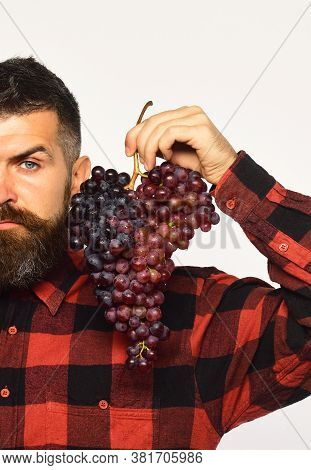 Winemaking And Autumn Crops Concept. Man With Beard Holds Grapes