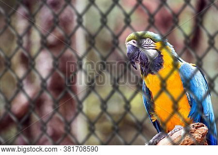 Old Macaw-canindé, Bird With Yellow And Blue Belly, Native To The Amazonas, In Captivity. Concept Of
