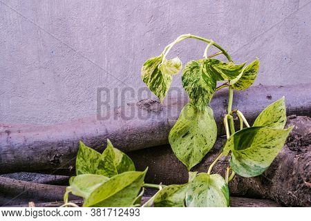 Golden Pothos, Scindapsus Aureus, Magnoliophyta, Marble Queen, Silver Vine, Devils Lvy. Popular Orna