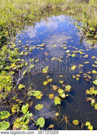 Beautiful Panorama Of Everglades National Forest With Sea Lily And Water Reflection, Florida