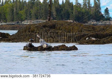 Harbour Seals On The Bay Of Fundy, New Brunswick, Canada