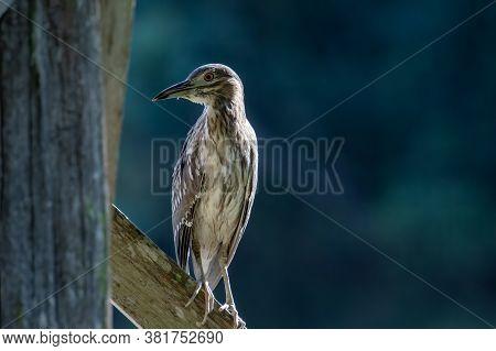 Nature Wildlife Bird Of Rufous Night Heron (immature) In Nature Wetland At Sabah, Borneo