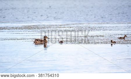 Duck With Little Ducklings Swimming In The Lake. Mallard Duck And Baby Ducklings