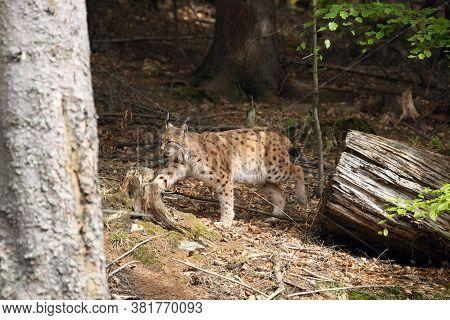 The Eurasian Lynx (lynx Lynx) Going Through The Forest