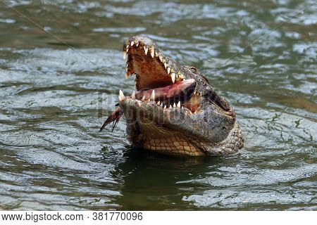 The Nile Crocodile (crocodylus Niloticus) Swallowing A Fish Above The Water. A Large African Crocodi
