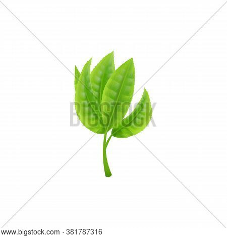 Branch With Green Fresh Tea Leaves, Realistic Vector Illustration Isolated.