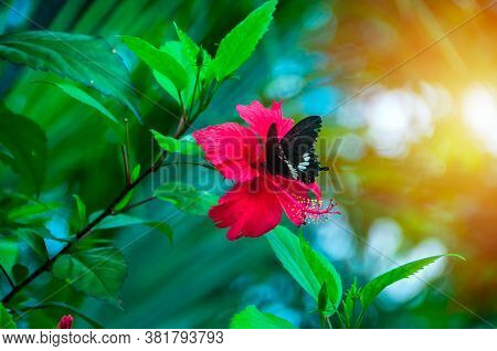 Black Butterfly On Red Hibiscus Flower Eating Flower Nectar On Natural Green Background With Sunligh