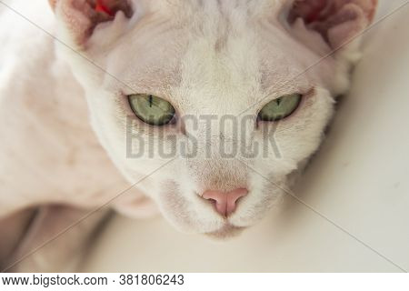 Sphinx Hairless Cat, Hairless, Anti-allergenic Cat, Pet Look In Front Beautiful Cat's Face With Hair