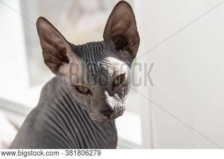 Gray Sphynx Hairless Kitten, Hairless, Anti-allergenic Cat, Pet Look In Front Beautiful Cat's Face W