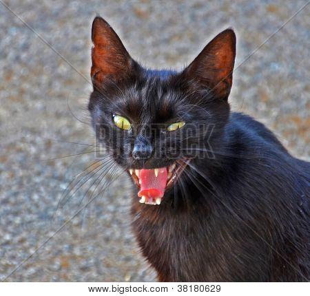 evil black cat
