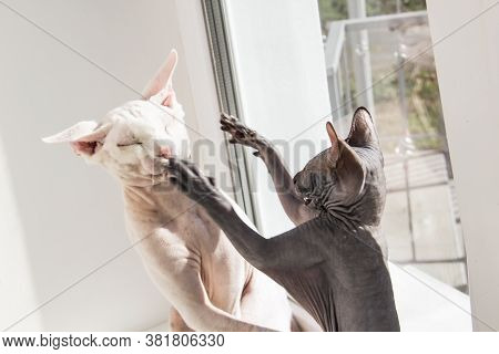 Two Sphynx Hairless Cats, Anti-allergenic Cats. Two Pets Play Or Fight Together On The Window. Beaut