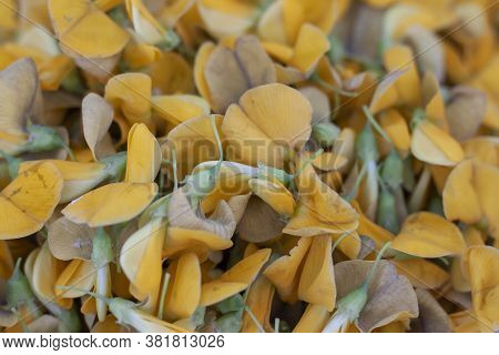 Yellow Sesbania Flowers Is Vegetable For Cooking.