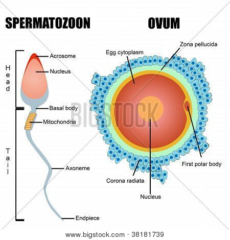 Structure Of Human Gametes : Egg And Sperm