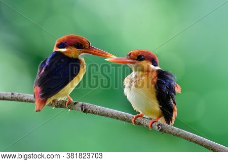 Pari Of Oriental Dwarf (ceyx Erithaca) Or Black-backed Or Three-toed Kingfishers Teasing Each Other