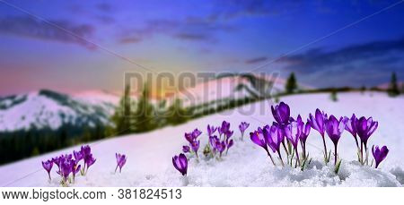 Spring Landscape Rising Sun And Blooming Flowers Violet Crocuses ( Crocus Heuffelianus ) On Glade In