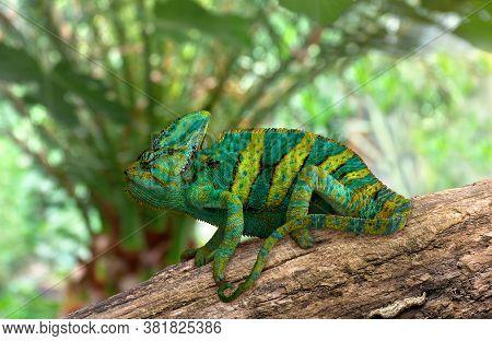 Chameleon ( Chamaeleon ) Green Yellow Color On Rough Branch In Sun Light