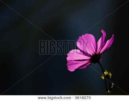 Pink Flower On Black