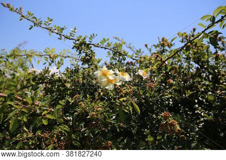 Wild Roses In The Boboli Gardens In Florence. High Quality Photo