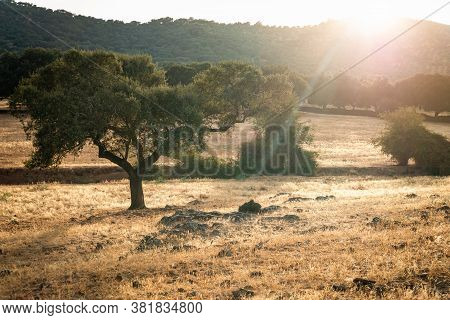 Oaks In The Dehesa Of Extremadura On Sunlate