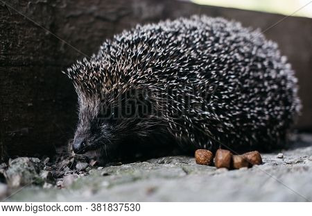 A Small Gray Charming Prickly Hedgehog Showed Its Sharp Muzzle. Curious Forest Dweller In The Light