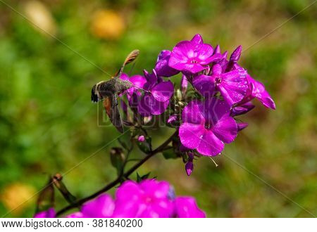 Russia. Kuznetsk Alatau. Hovering Over The Blooming Phlox, The Common Hawk-moth (or Big-billed Star)