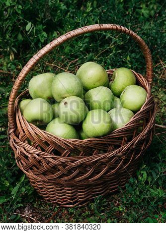 Apples In A Wicker Straw Basket. Fresh Bright Green Apples In A Basket, The Farmer's Harvest Of Late