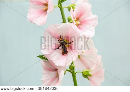 The Scolia Scoliidae Insect Sits On A Pale Pink Mallow Flower Against A Light Background Close-up. H