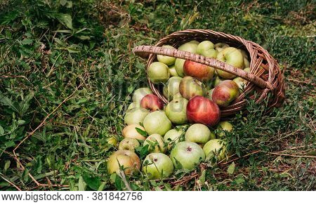Fresh Bright Green And Red-pink Apples In An Inverted Basket, A Farmer's Harvest Of Late Summer And