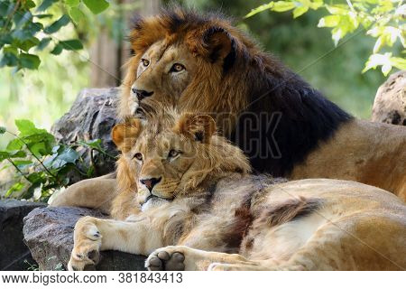 The Barbary Lion Was (panthera Leo Leo), Father And Son In The Wild Extinct Subspecies Of The Africa