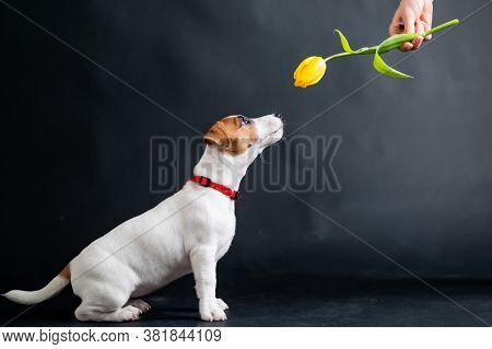 Woman Teases Funny Puppy With Flower In Studio. Little Mischievous Dog Hunts For A Tulip On A Black