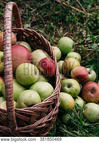 A Wicker Straw Basket With Apples Stands On The Grass, And Some Of The Apples Are Lying Next To It.