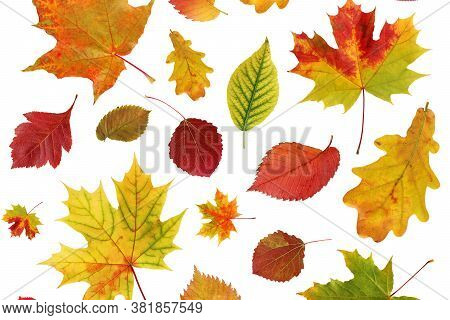 Autumn Background With Leaves On A White Background. Falling Leaves Of Oak, Maple, Aspen, Hawthorn.