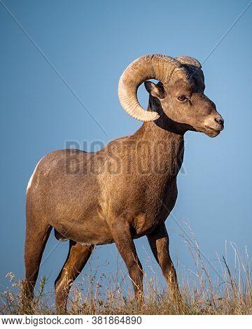 Adult Bighorn Sheep On The South Dakota Prairie Just After Sunrise