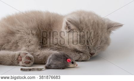 British Shorthair Cat. Cute Little Kitten Is Lying And Sleeping. Next To It Is A Toy Mouse.