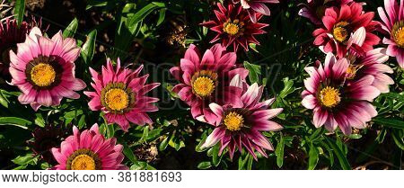Many Beautiful Large Bright Flowers Of Gazania Close-up. Floral Background.