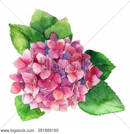 Summer Watercolor With Pink Blooming Hydrangea, Watercolor Botanical Natural Hydrangea Illustration
