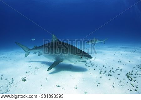 Tiger Shark (galeocerdo Cuvier) Swimming By Closely, With Caribbean Reef Shark In The Background. Ti